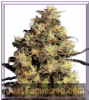 Dutch Passion Blue Velvet Female 5 Seeds
